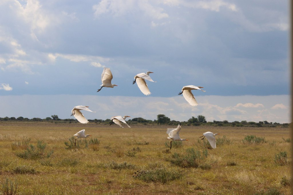 Kohägrar i Kalahari